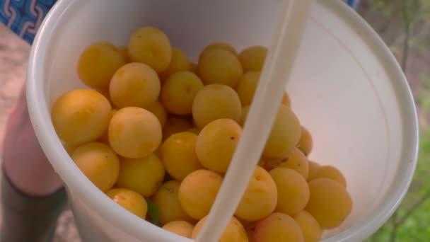 Bucket of cherry plums.