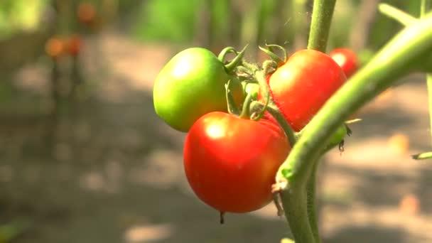 Rajčata na slunci.