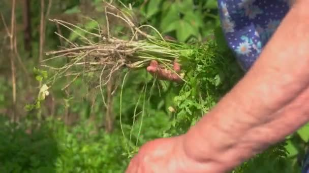 Hand holding green herbs.