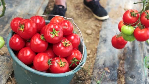 Frisch geerntete reife Tomaten im Eimer.