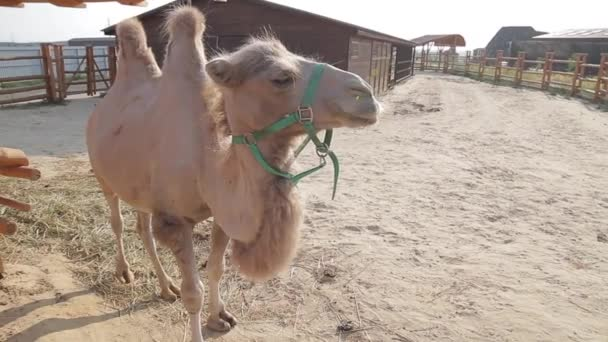 The Bactrian camel.