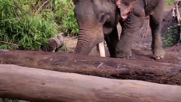 Elefánt mozog a fa fedélzet.