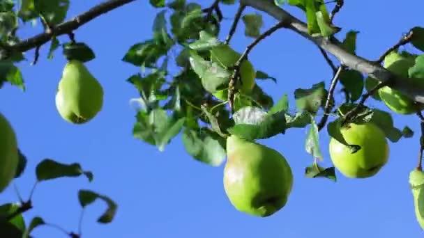 Zralé hrušky, visící na stromě