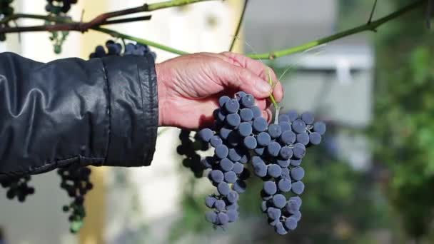 Öreg szőlő ága holding.