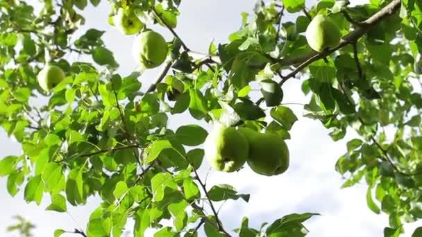 hrušky na stromě