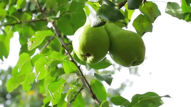Velké hrušky, visící na stromě