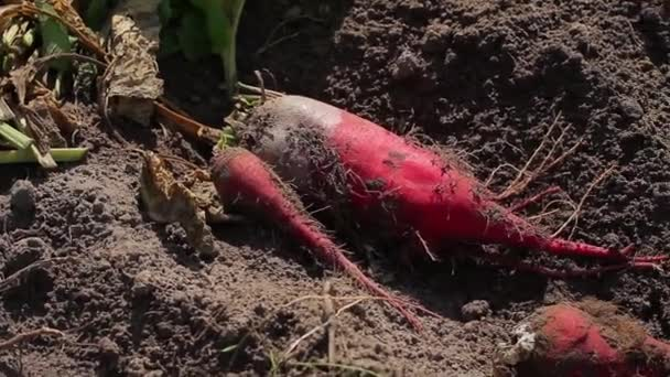 Gathering beets. Farmers harvest.