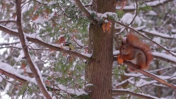 Eichhörnchen Sie im Winterwald