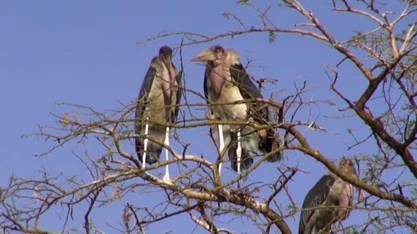 Tři čáp Marabu na větvi