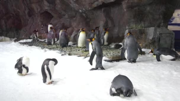 A nyáj-a pingvin a hóban