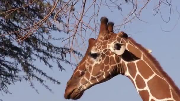Zsiráf enni a fa levelei. Szafari Kenyában.