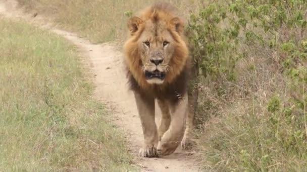 Lev na chodník, Keňa
