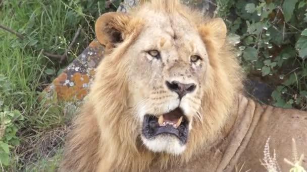 Hatalmas oroszlán a fejét, Kenya twirls