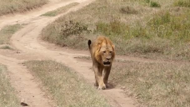 Lion walking on the footpath, Kenya