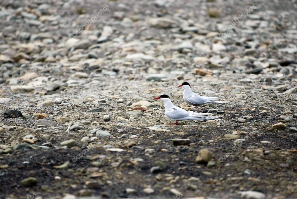 представляют шпицберген птицы фото трямкин один самых