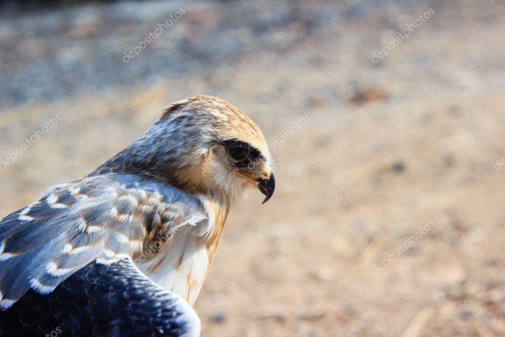 pássaro jovem falcão stock photo madozi 114531532