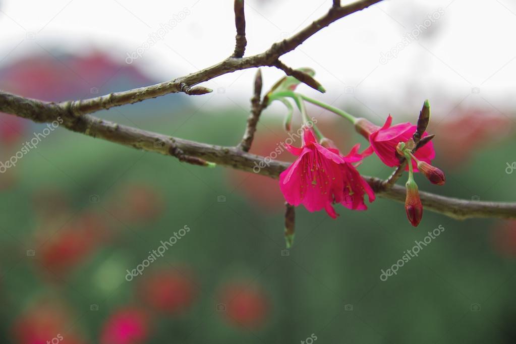 When the cherry blossom brilliant
