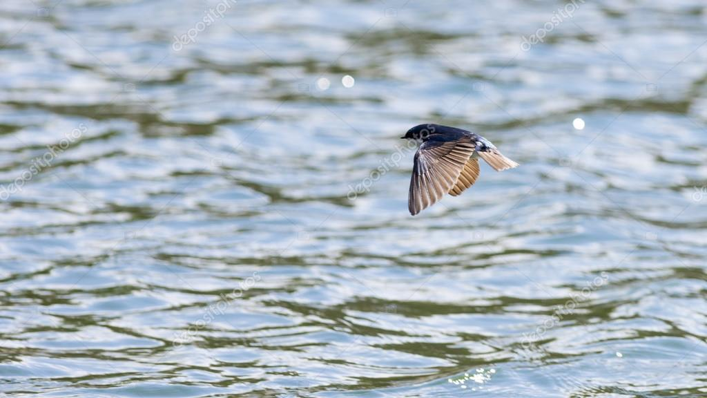 Tree Swallow Over the Water
