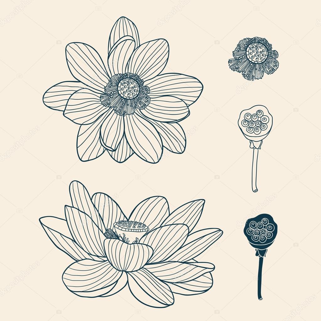 43d724a8f6b1 Colección Lotus — Vector de stock © Apolinarias  57817469