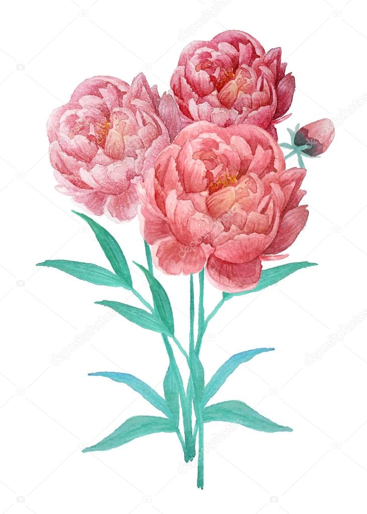 Watercolor peony flowers bouquet — Stock Vector © DinaL #60123329