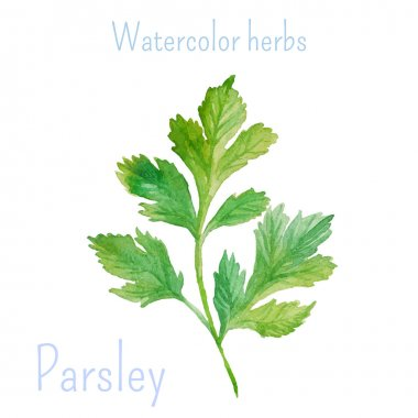 Parsley hand drawn