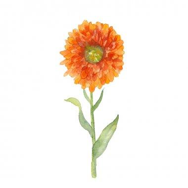 Watercolor Marigold flower