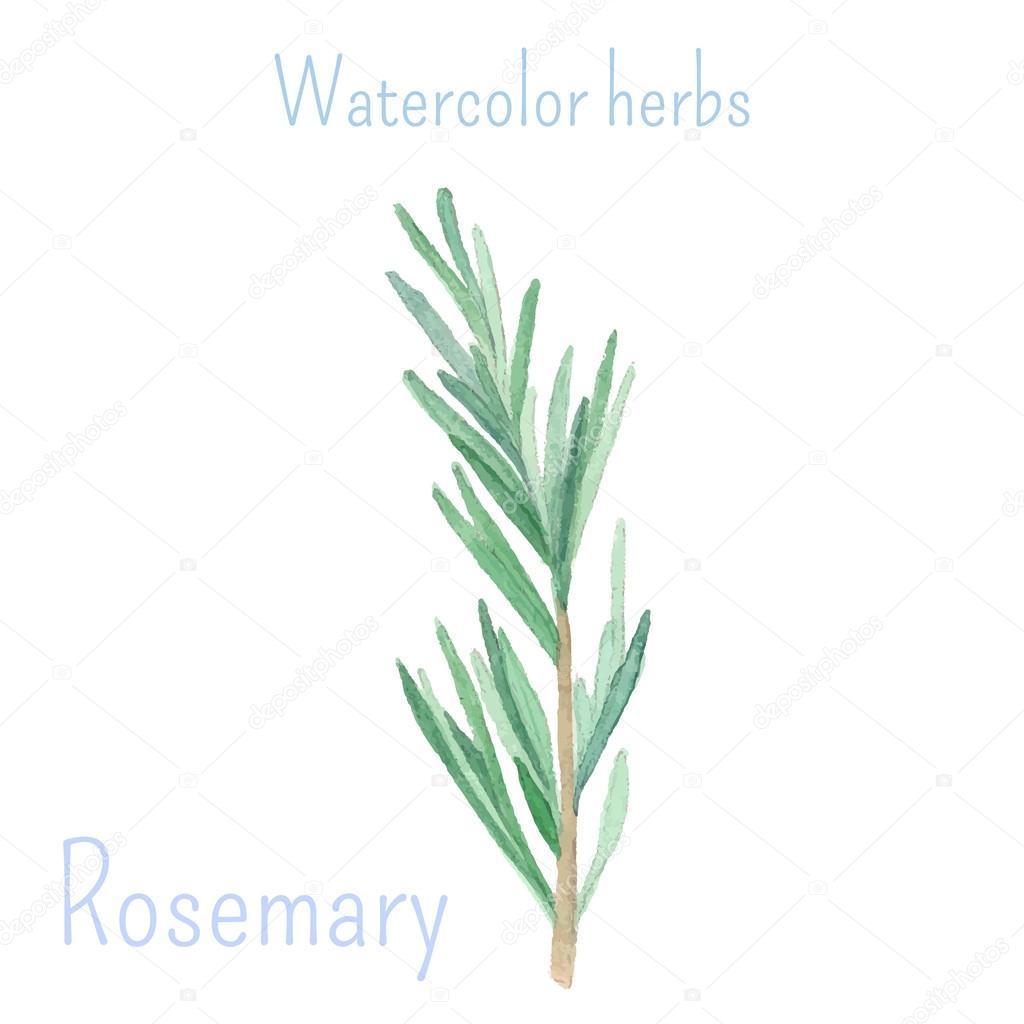 Rosemary hand drawn