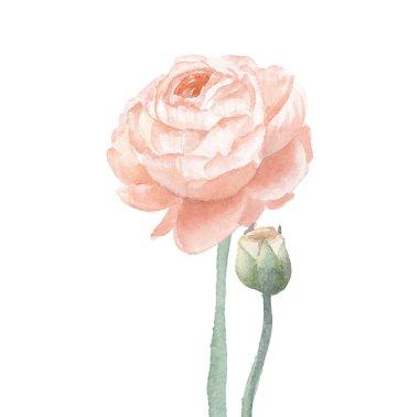 Beige ranunculus flower