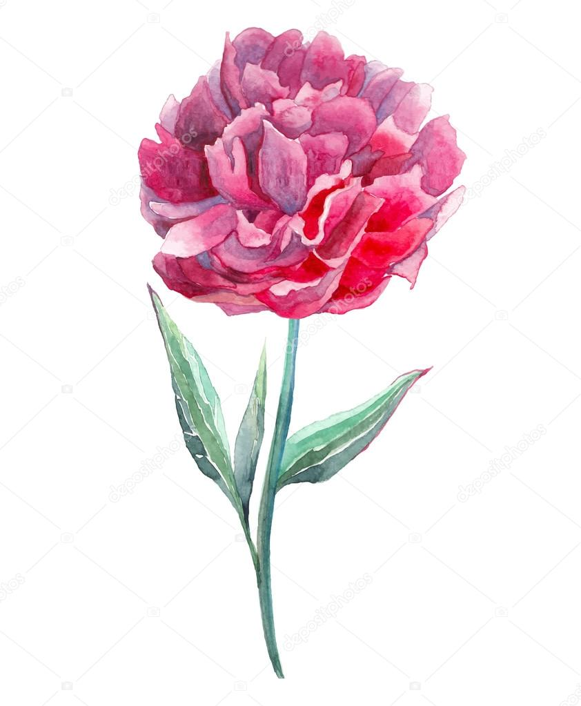 Watercolor Bright Pink Peony Hand Painted Single Flower Isolated On White Background Artistic Botanical Illustration In Vector By DinaL
