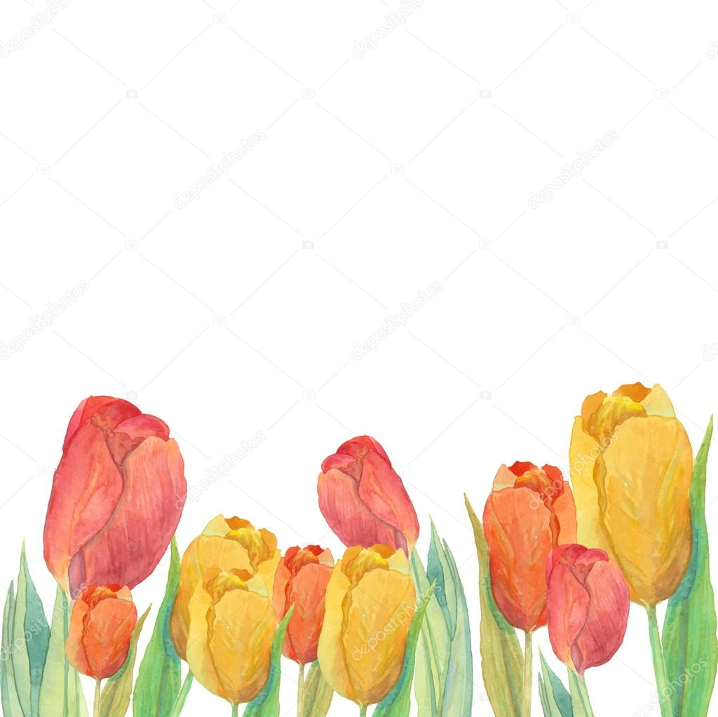 Watercolor Yellow And Red Tulips Frame Isolated Natural Design On White Background Hand Painted Spring Flowers Border Card Artistic Vector Illustration