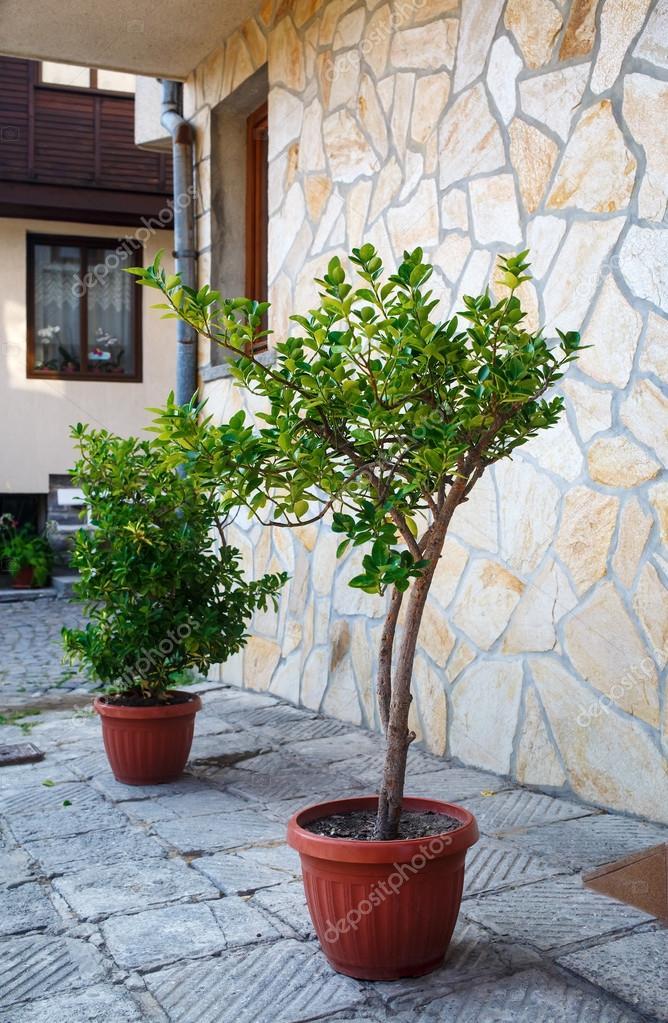 Boom In Pot Buiten.Bomen In Potten Buiten Stockfoto C Veresovich 104907726