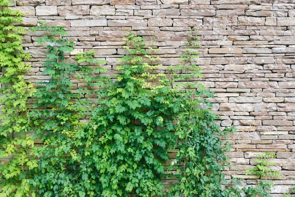 Enredadera en la pared foto de stock veresovich 66996051 for Plantas trepadoras para muros