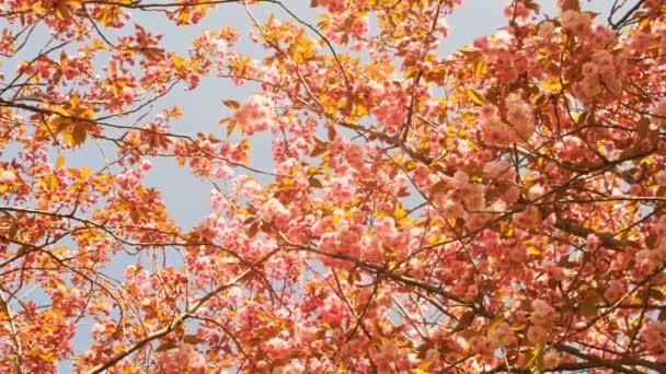 Mnoho krásných japonských třešní kvetoucí na jaře na Museumplein v Amsterdamu