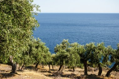 Olive grove over the blue sea