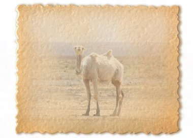 Retro card, wild camel