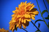 fényes sárga virág