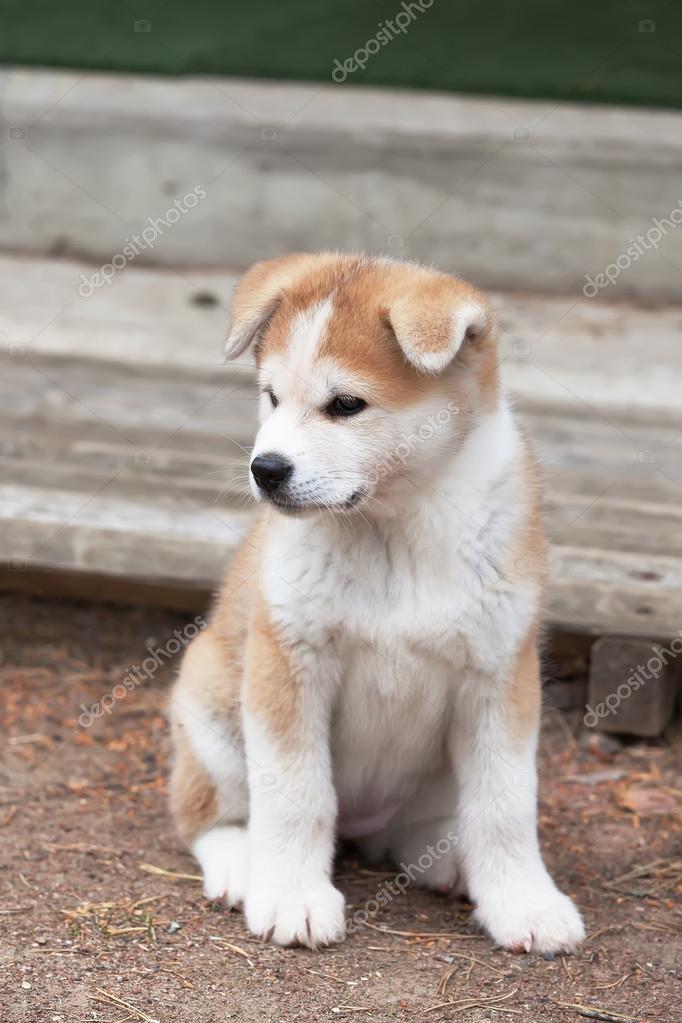 Akita Dog Breed Price