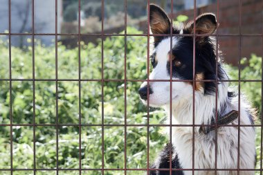 A black, brown and white dog locked in a pen behind a fence. Close-up of a tricolor dog looking at the camera behind the fence.