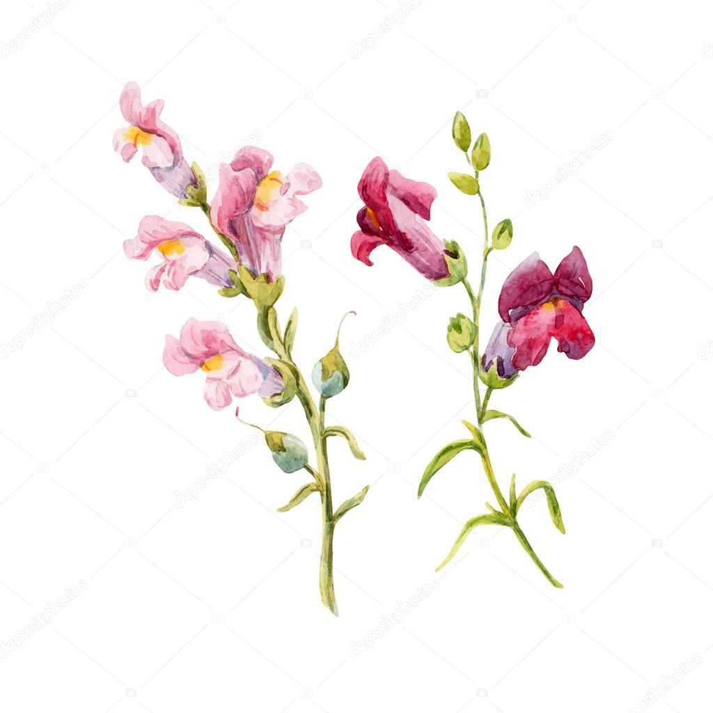 Watercolor Snapdragon Flower Stock Vector Zeninaasya 121568816