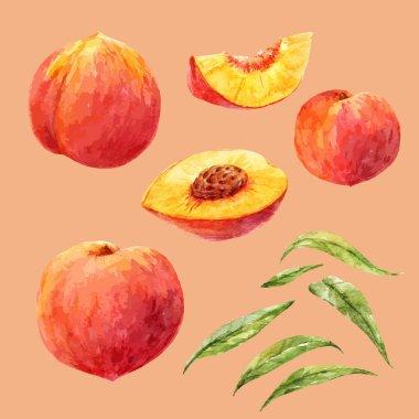 Watercolor hand drawn peach