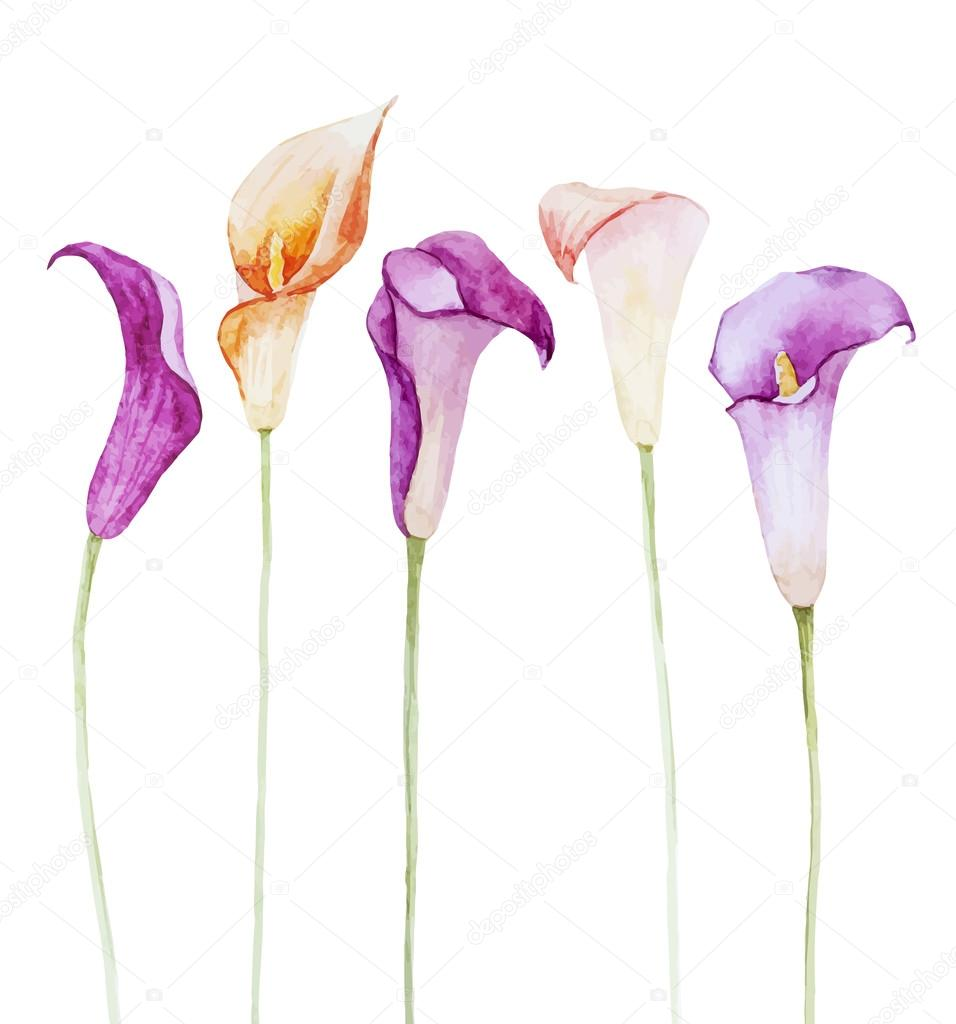 Nice watercolor calla flowers
