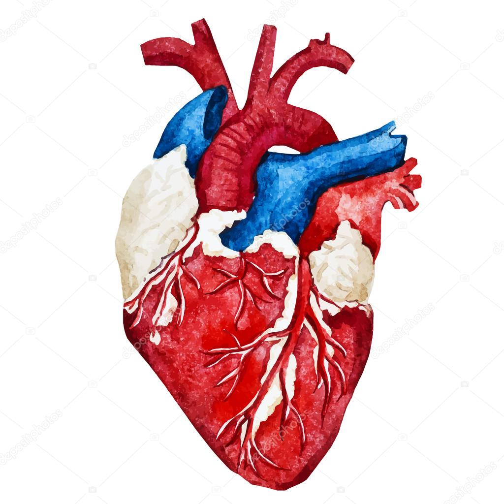 Watercolor human heart vetores de stock zeninaasya 76872113 watercolor human heart vetores de stock ccuart Choice Image