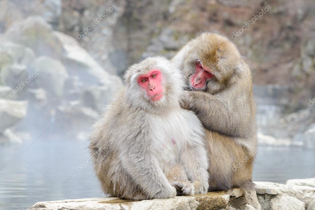 Monkey in Jigokudani Monkey Park or Snow Monkey
