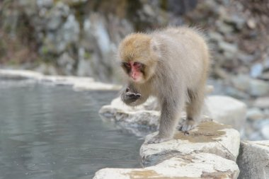 Monkey in a natural onsen (hot spring), located in Jigokudani Mo
