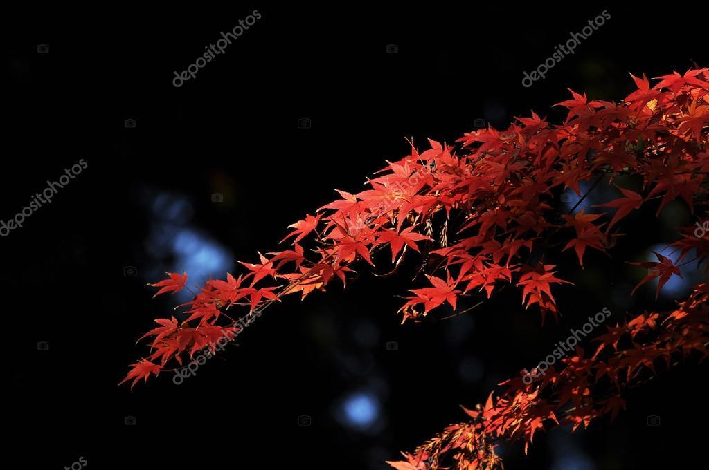 Autumn foliage of maple leaves
