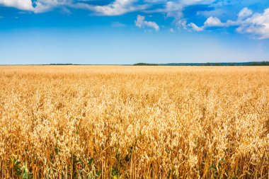 Rural wheat field with blue sky