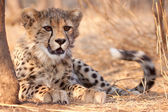 Cheetah cub (Acinonyx  jubatus) South Africa