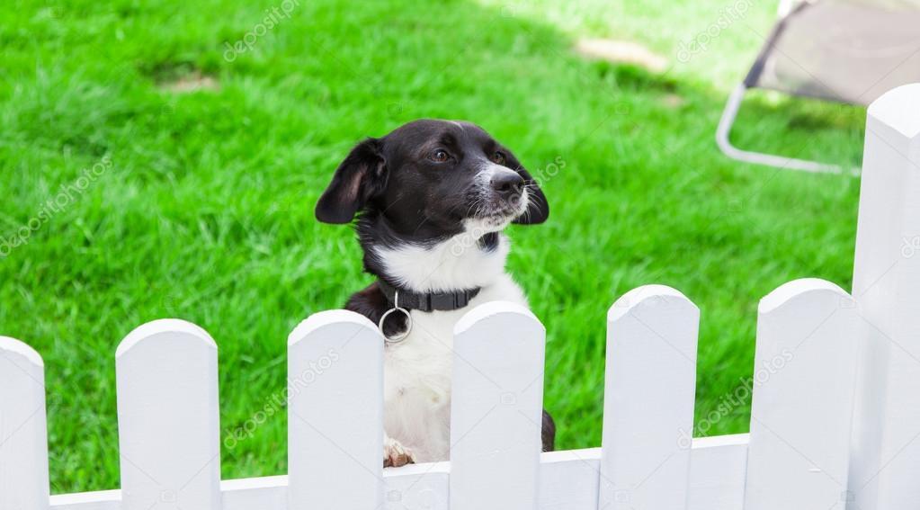 Hund Mit Blick Auf Den Garten Zaun Stockfoto C Zaschnaus 78476770