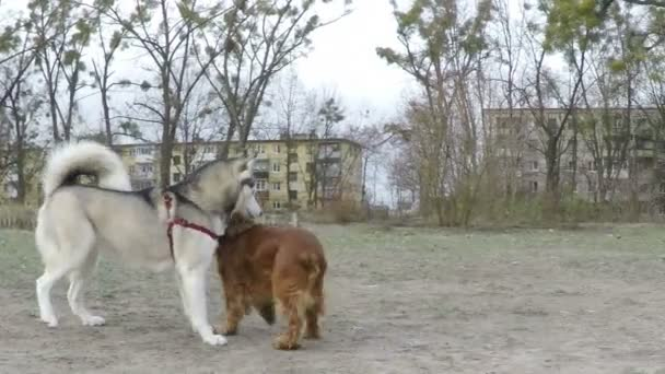 Siberian Husky plays with Spaniel.