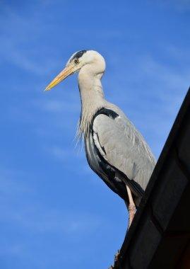 Pelikan kuşu